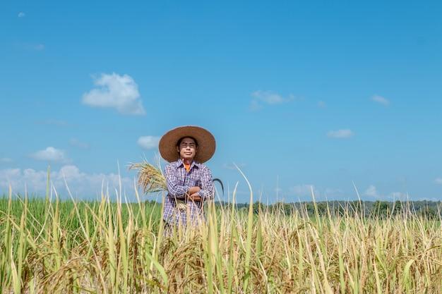 Os agricultores estão colhendo colheitas nos campos de arroz. dia do céu brilhante