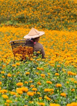 Os agricultores estão colhendo flores de calêndula pela manhã.