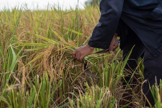 Os agricultores estão colhendo grãos de arroz
