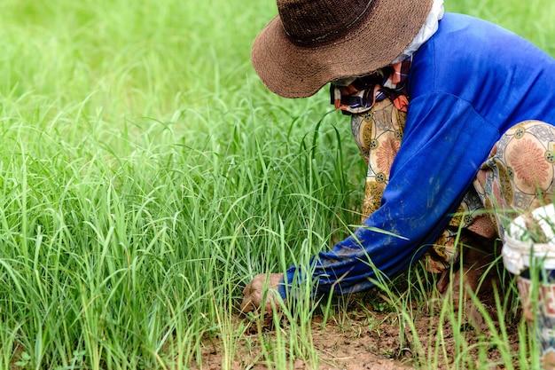 Os agricultores estão cultivando na zona rural da tailândia.