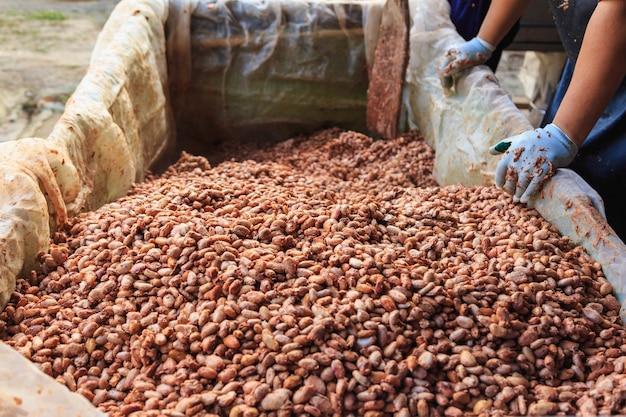 Os agricultores estão fermentando grãos de cacau para fazer chocolate.