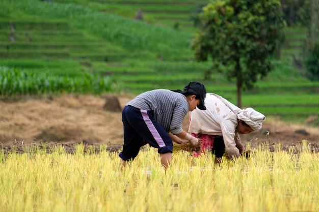 Os agricultores estão plantando arroz na fazenda com espaço de cópia, trabalhando nas montanhas