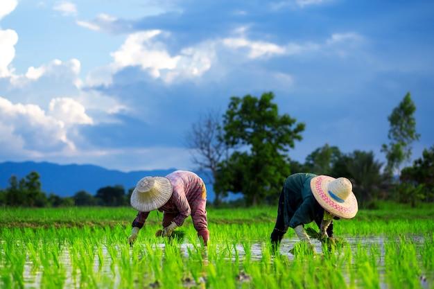 Os agricultores estão plantando arroz no campo de arroz