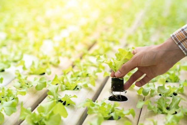 Os agricultores estão plantando mudas de hortaliças hidropônicas no lugar em trilhos vegetais