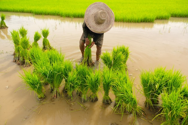 Os agricultores estão preparando variedades de arroz para o plantio. agricultura no campo. agricultura no solo. transplante de mudas de arroz para plantio.