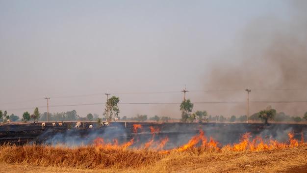 Os agricultores estão queimando restolho de arroz nos campos de arroz.