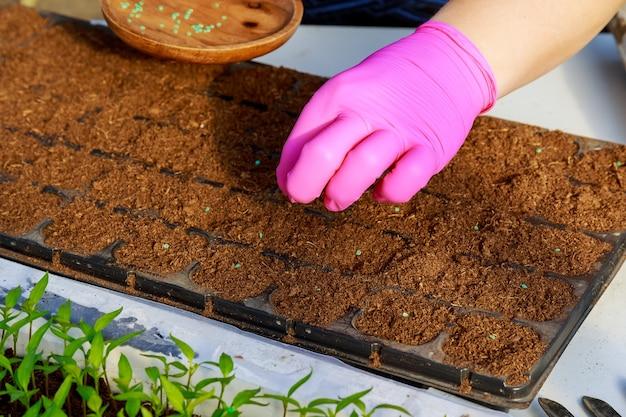 Os agricultores estão semeando plantas com sementes no solo. cultivo de mudas, transplante, plantio de vegetais