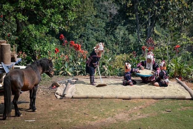 Os agricultores estão separando os grãos de café arábica e levando-os para secar ao sol, conceito agrícola.