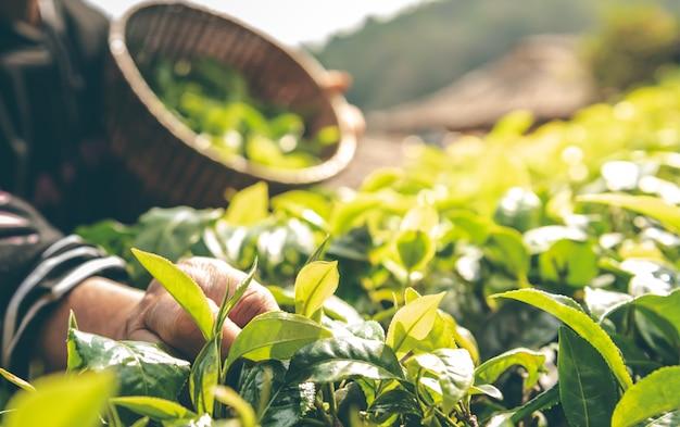 Os agricultores que estão colhendo as folhas da árvore do chá pela manhã