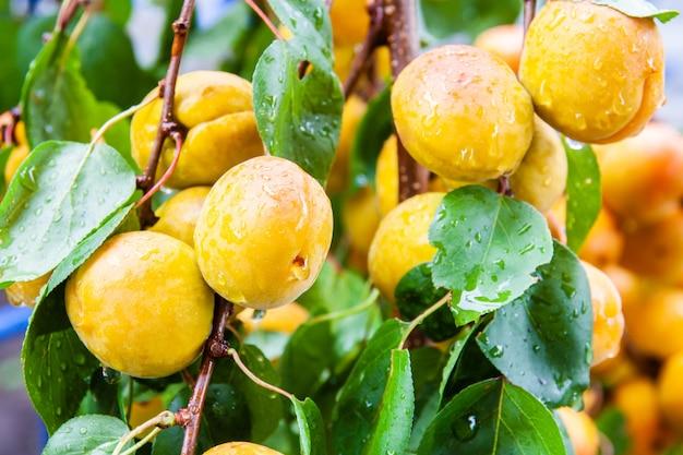 Os alperces orgânicos frescos maduros com água deixam cair em um ramo de árvore. closeup, foco seletivo
