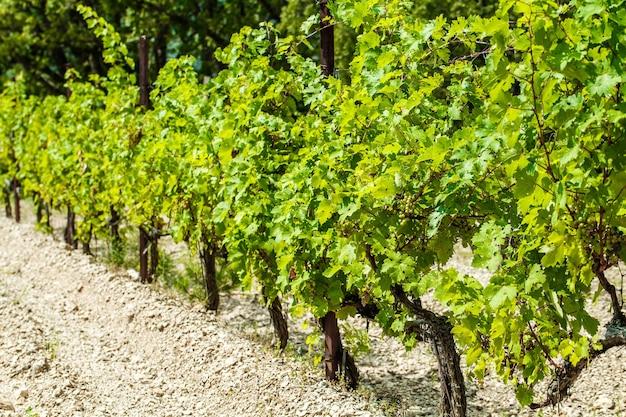 Os arbustos de uva e os cachos amadurecem na plantação