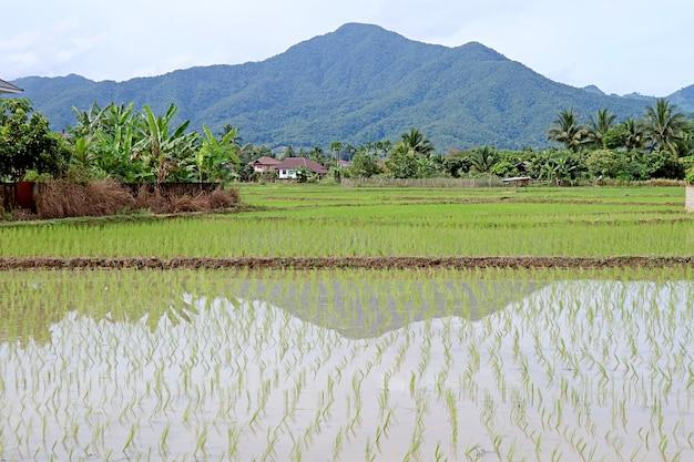 Os arrozais após o transplante de plantas de arroz processam a região norte da tailândia