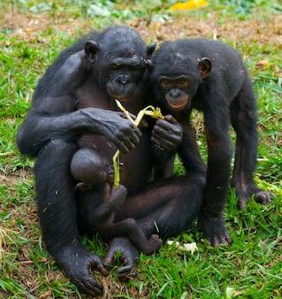 Os bonobos estão comendo bambu. república democrática do congo. parque nacional lola ya bonobo.