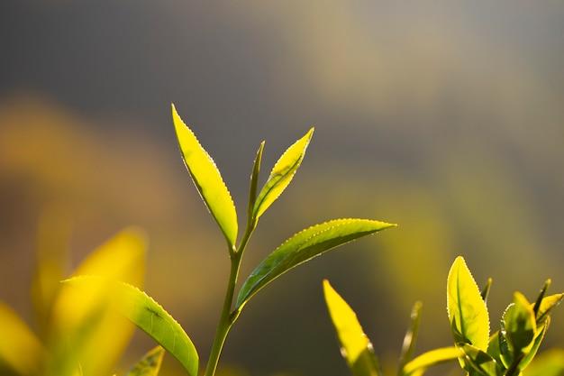 Os brotos de folhas de chá estão crescendo sob a luz do sol pela manhã.