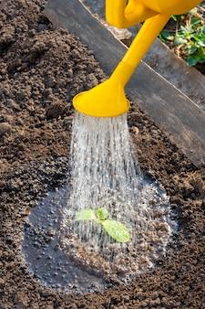 Os brotos jovens são regados com um regador amarelo no jardim, close-up. verões secos tornam a rega dos campos uma tarefa diária para os agricultores