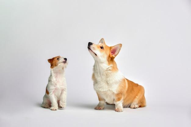 Os cães brincam no estúdio em um branco