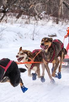 Os cães em arreios puxando um trenó competições no inverno