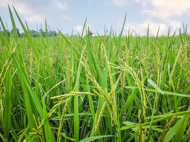 Os campos de arroz e a imagem da paisagem do céu azul para conteúdo alimentar.