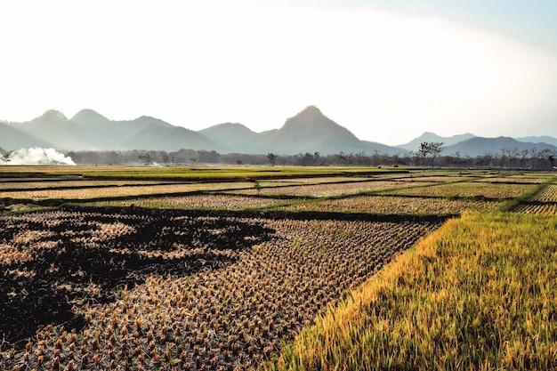 Os campos de arroz estão amarelando durante a colheita do arroz com uma montanha ao fundo em ponorogo, java oriental, indonésia