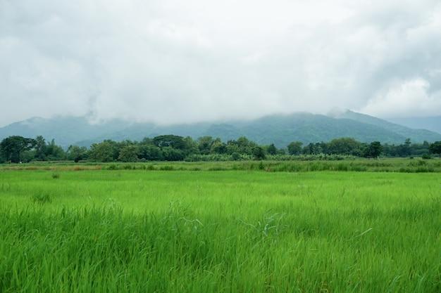 Os campos de arroz nos campos são soprados pelo vento.