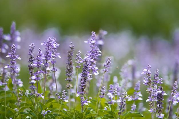 Os campos do salvia azul florescem no jardim para o fundo.