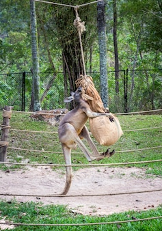 Os cangurus estão se exercitando para praticar a luta.
