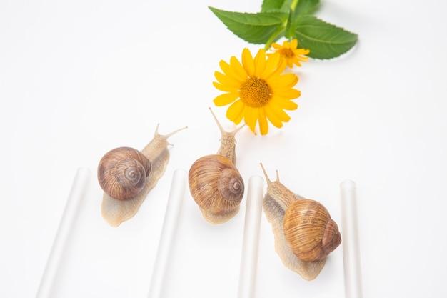 Os caracóis competem para alcançar a flor amarela. molusco e invertebrado. delicadeza de carne e comida gourmet.