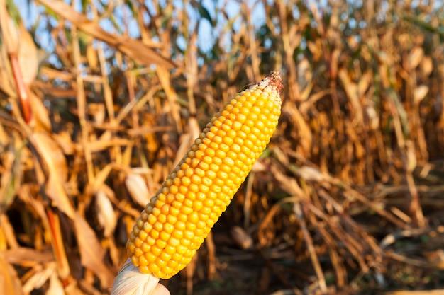 Os caules maduros de milho no campo agrícola. estação do outono