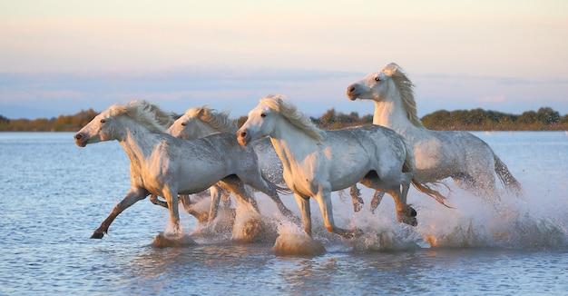 Os cavalos de camargue estão correndo lindamente ao longo da água na lagoa