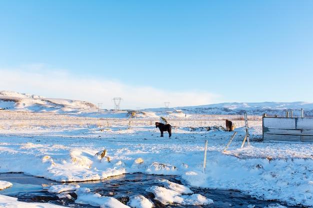 Os cavalos islandeses andam na neve. paisagem islandesa de inverno