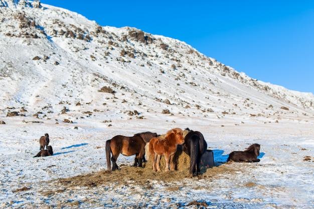 Os cavalos islandeses andam na neve perto de um palheiro. fazenda na islândia