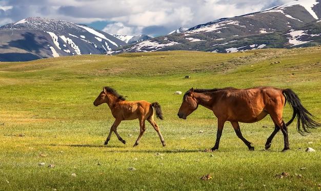 Os cavalos selvagens estão andando em frente à cordilheira. montanhas altai. mongólia ocidental