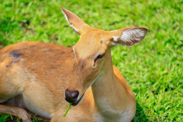 Os cervos de eld comem feijão longo no zoológico aberto
