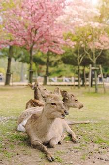 Os cervos novos no parque de nara durante um dia ensolarado na flor de cerejeira temperam, japão.