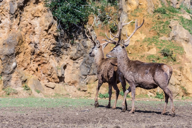 Os cervos são os mamíferos ruminantes que formam a família cervidae.