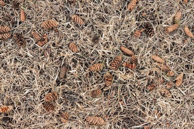 Os cones caídos de um pinheiro encontram-se na grama seca.