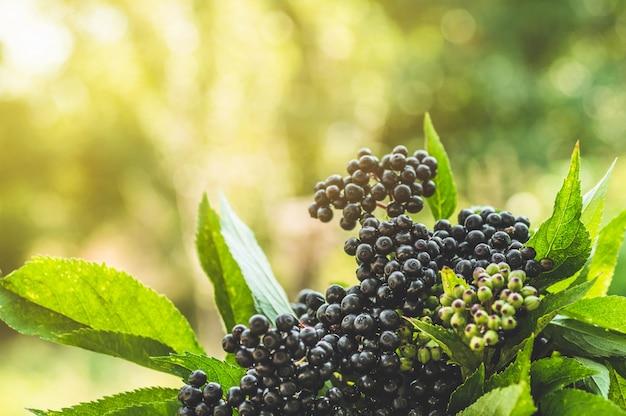 Os conjuntos frutificam baga de sabugueiro preta no jardim na luz do sol (sambucus nigra). ancião, ancião preto, fundo europeu de sabugueiro preto