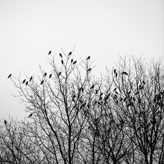 Os corvos voam e sentam-se sobre árvores sem folhas