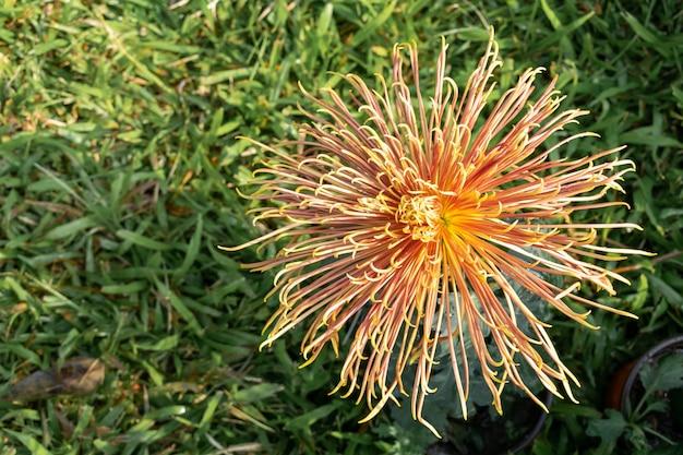 Os crisântemos vermelhos e amarelos com pétalas longas e finas estão em plena floração