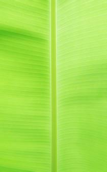 Os diversos padrões de linhas das folhas de bananeira.