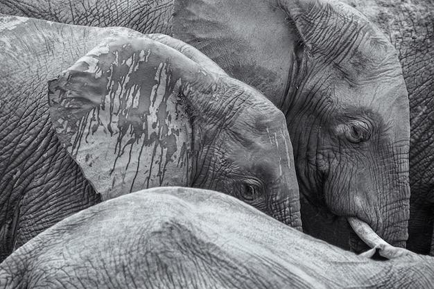 Os elefantes africanos preto e branco detalham o fundo da imagem