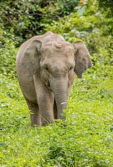 Os elefantes selvagens asiáticos parecem muito felizes com a comida na estação das chuvas