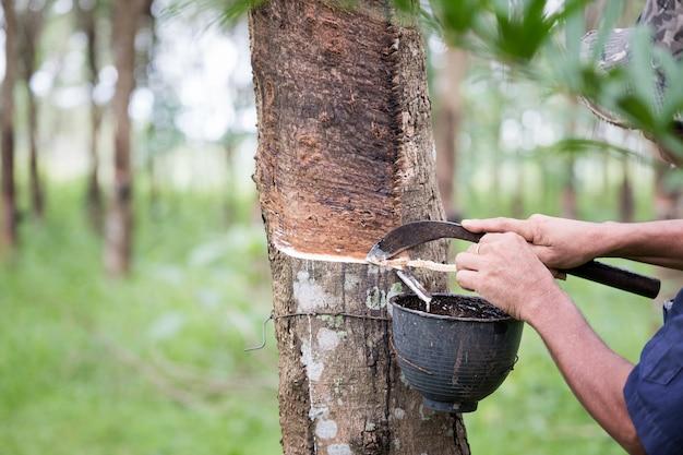 Os fazendeiros do trabalhador entregam o látex de batida de uma árvore da borracha com faca, no amanhecer.
