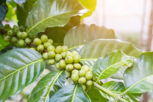 Os feijões de café no ramo com fundo da luz solar na plantação de café cultivam na montanha do norte.