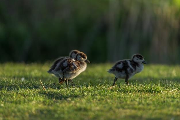 Os filhotes do nilo goose caminhavam pela grama com as primeiras luzes do dia
