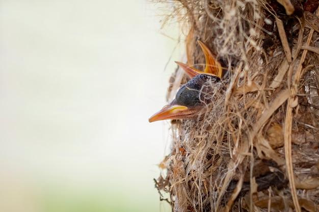 Os filhotes estão esperando a mãe alimentar no ninho do pássaro. pássaro. animais.