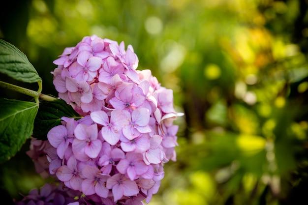 Os flowes roxos do serrata da hortênsia molharam após a chuva em um verde borrado das folhas. flores do jardim. closeup de flor rosa em plena floração