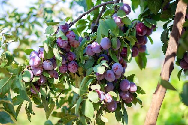 Os frutos da ameixeira estão pendurados em um galho. cultivando ameixas em sua casa de verão. pomar próprio.