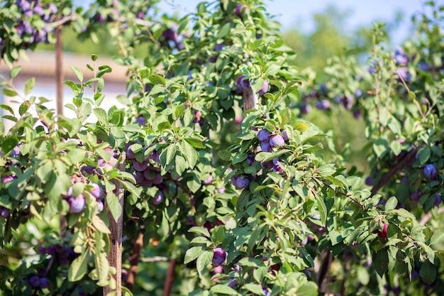 Os frutos da ameixeira estão pendurados em um galho. cultivando ameixas em sua casa de verão.