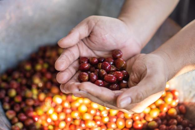 Os frutos do café, comumente chamados de cerejas de café, são uma fonte de grãos de café para a produção de bebida de café